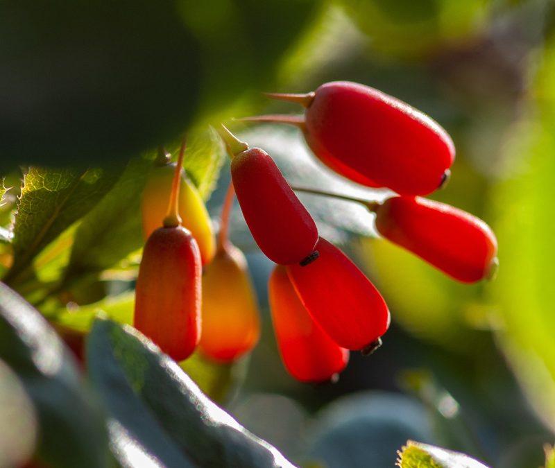 Berberine / Berberis vulgaris